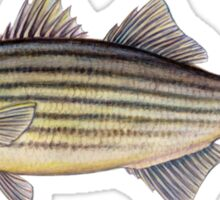 Striped Bass (Morone saxatilis) Sticker
