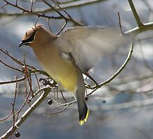 Cedar Waxwing Landing - Hot Springs National Park, Arkansas by Lee Hiller