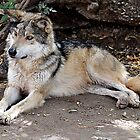 Mexican Wolf Poses by Judy Grant