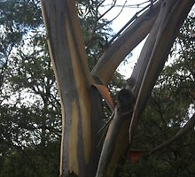 Gum tree-Three Sisters, Katoomba by Julie Bennett Trigg