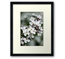 White Wildflowers Dames Rocket  Framed Print