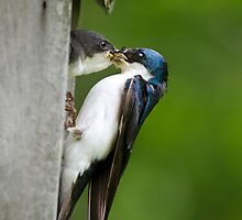 Tree Swallow Feeding Chick by Christina Rollo