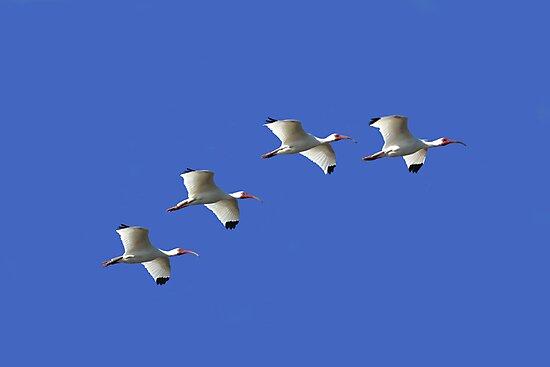 WHITE IBIS IN FLIGHT by TomBaumker