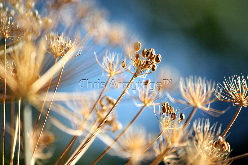 Golden summer  by Chris Armytage™