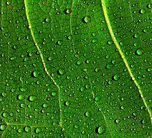 Green Leaf with Water Drops by John Rocha