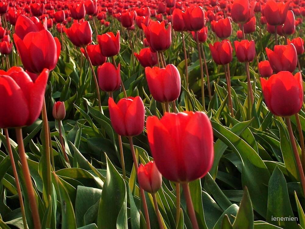 A field full Red Tulips by ienemien