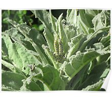 Cabbage Caterpillars Poster