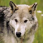 Wolf in the Eyes by stuart powell