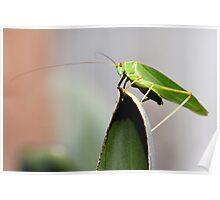 Green Katydid Poster
