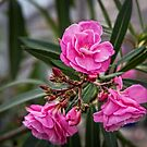 Pink Roses II by PhotosByHealy