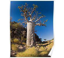 kimberley boab tree Poster