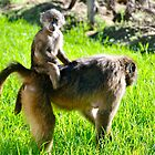 Baby baboon on its mother's back by davridan