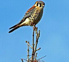 American Kestrel ~  Falco-sparverius by Chuck Gardner