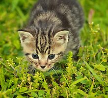 Baby Maine Coon by Richard Sims
