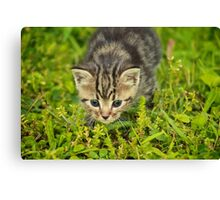 Baby Maine Coon Canvas Print