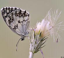 Butterfly by Daniel Rosselló