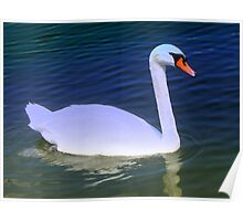 Swan on azure waters Poster