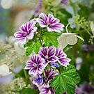 Malva sylvestris by PhotosByHealy