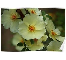 Chinese Floribunda Rose Bush Poster