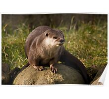 Asian short clawed otter Poster