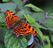 A Comma butterfly on bramble leaves by nymphalid