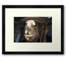 Shetland pony nose Framed Print