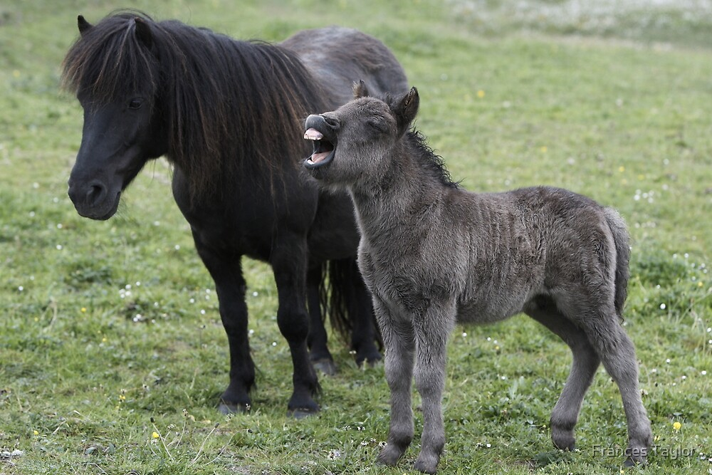 """""""Shetland pony Foal and mare"""" by Frances Taylor"""