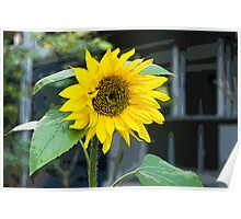 Sunflower, Posterized Poster
