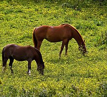 Horses grazing in a buttercup meadow by Violaman