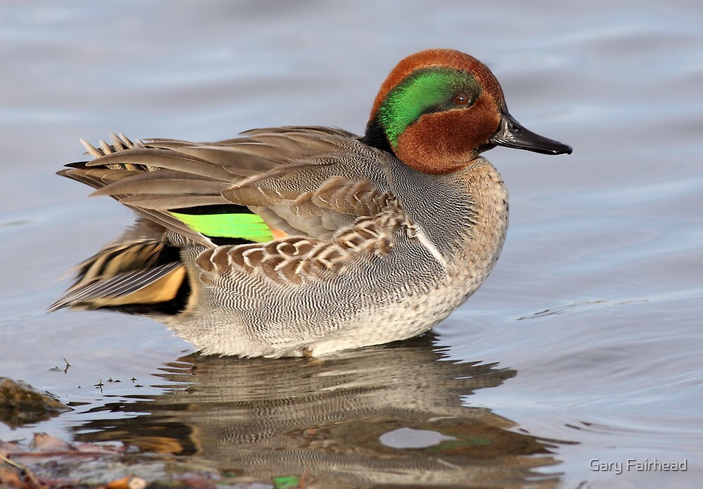 Bling Bling/Green Winged Teal by Gary Fairhead