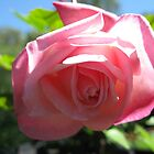 Pink Rose Bloom by GnomePrints