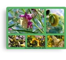 Cloudless Sulphur Life Cycle  Canvas Print