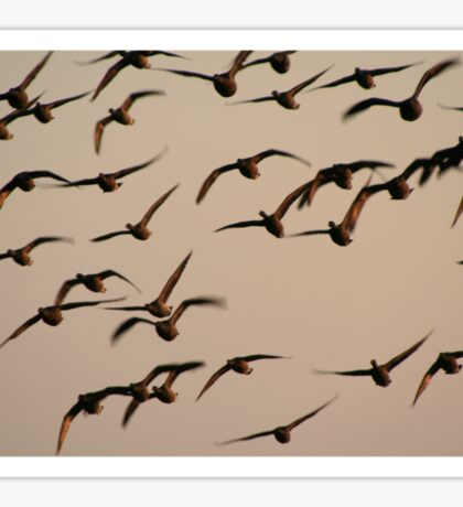 Brent geese at sunrise Sticker