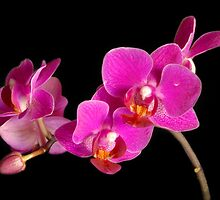 Fuchsia Orchid  by Alana Ranney