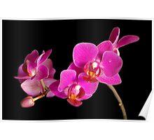Fuchsia Orchid  Poster