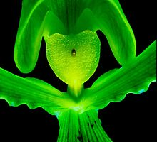 Lover Boy - A new perspective on Orchid Life by ©Ashley Edmonds Cooke