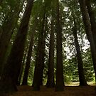 The Redwoods by Sue Wickham