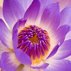 Shining Thru - purple waterlilly by Jenny Dean
