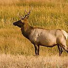 Elk bull - Yellowstone National Park by starsofglass