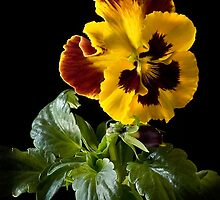 Pansy by Endre
