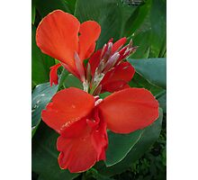 Red Canna Lily. Photographic Print