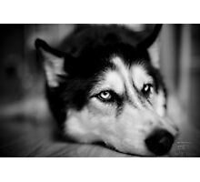 Samson - Icy Blue Husky Photographic Print