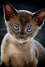 Opal-eyed Kitten by Renee Hubbard Fine Art Photography