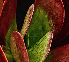 Flapjack Succulent by Dianne English