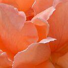 Powderham Castle Rose by Catherine Hamilton-Veal  ©