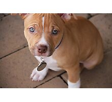American Pit Bull Terrier Puppy Photographic Print