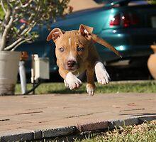 Flying American Pit Bull Terrier by Ginger Monteleone