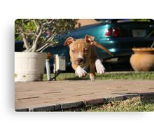 Flying American Pit Bull Terrier Canvas Print