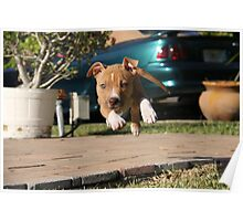 Flying American Pit Bull Terrier Poster