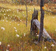 A Field of Cotton Grass by Sarah Beard Buckley